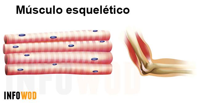 Aparato locomotor parte I: el músculo